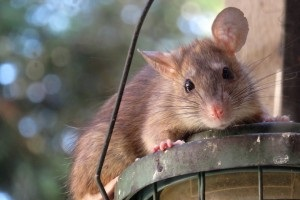 Rat Control, Pest Control in Lower Edmonton, N9. Call Now 020 8166 9746