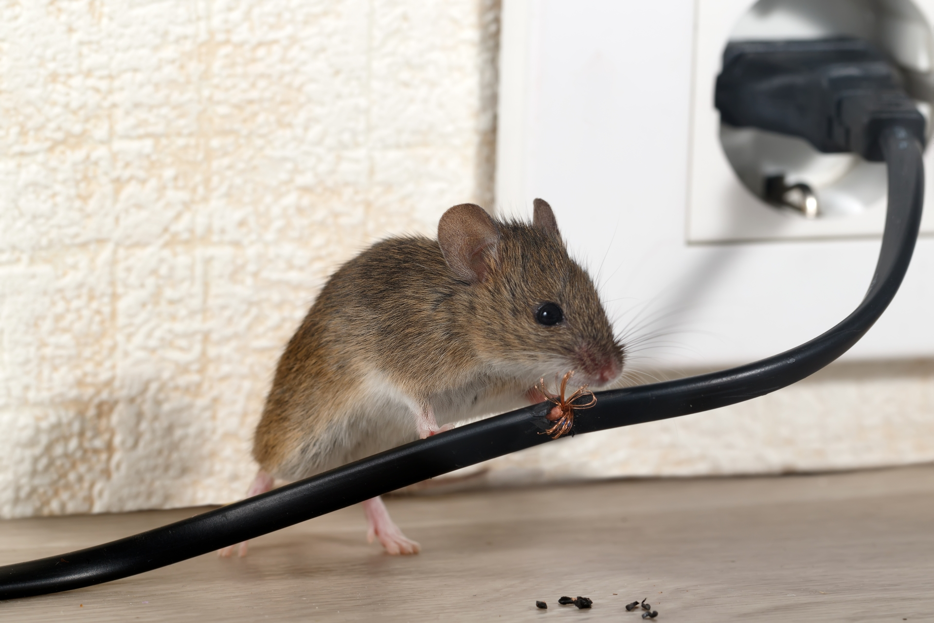 Mice Infestation, Pest Control in Lower Edmonton, N9. Call Now 020 8166 9746